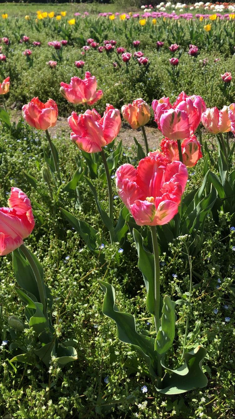 tulipani torino tuliparty